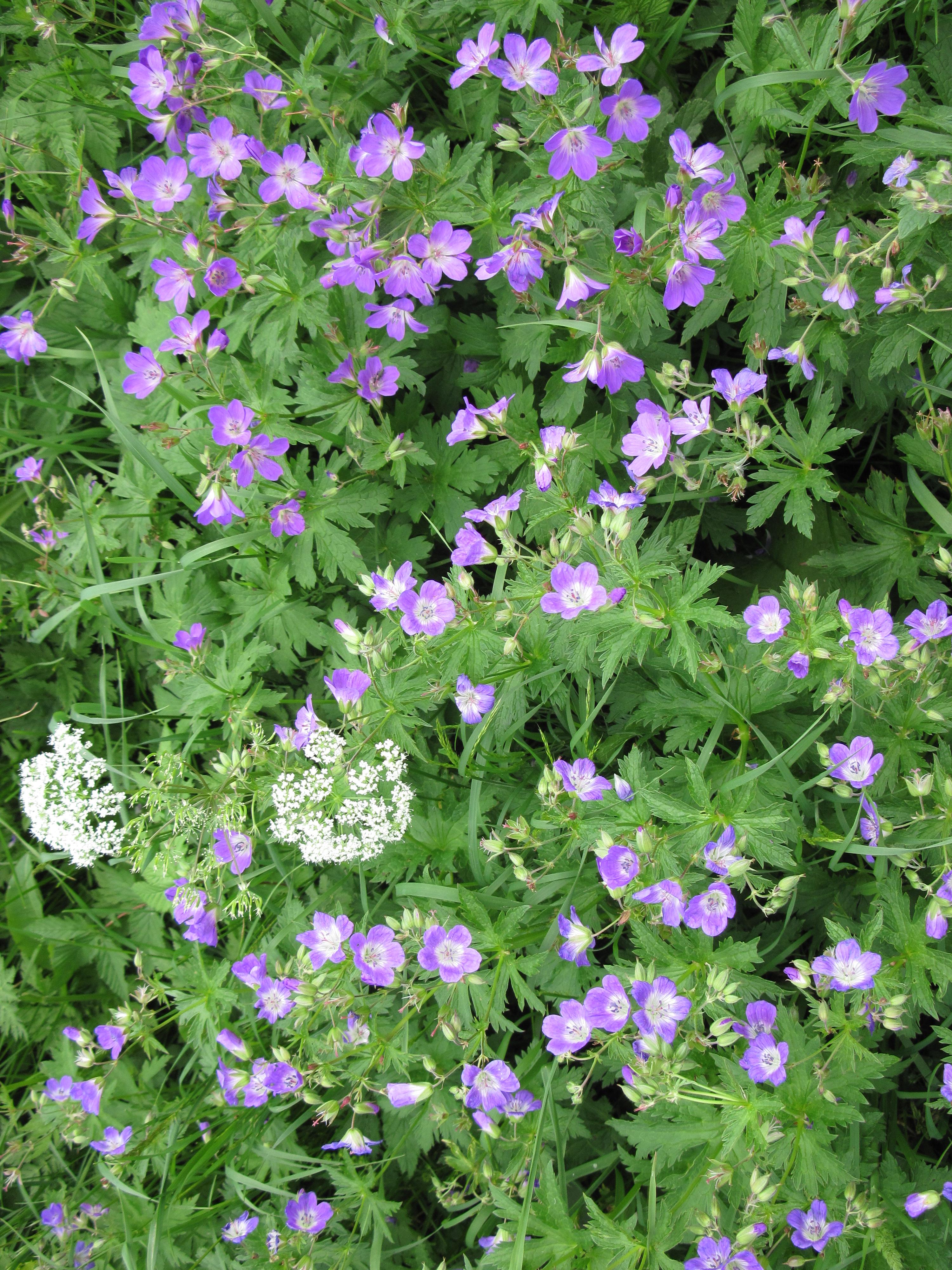 foto in hoher aufl sung wiesen storchschnabel flora natur im austria forum. Black Bedroom Furniture Sets. Home Design Ideas