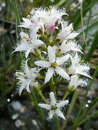 Menyanthes