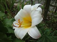 Lilium_regal2e.jpg