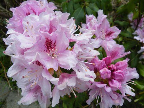 Rhododendron haus und gartenpflanzen natur