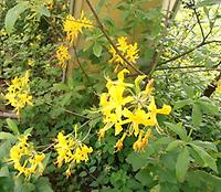 Rhododendron_luteum